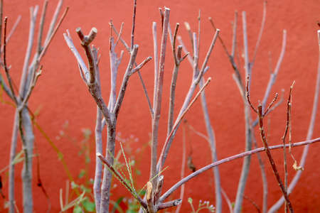dry branch stick of plant with green small leaf with red background of red wall