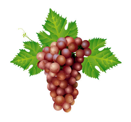 wine growing: vector illustrator of red grapes isolated on a white background. Illustration