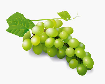 grapes in isolated: vector illustrator of green grapes with drops of water isolated