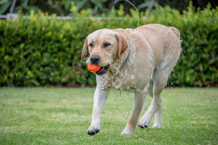 fetch: wet dog playing fetch Stock Photo