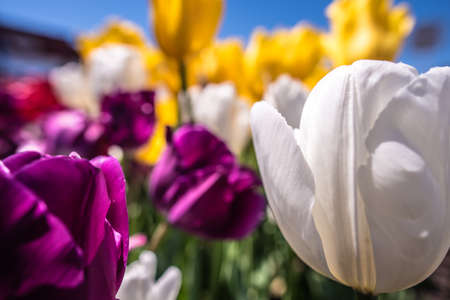 closeup of tulips in flower bed