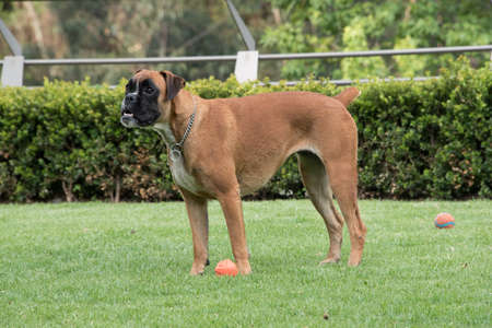 Boxer dog running on grass, playing fetch
