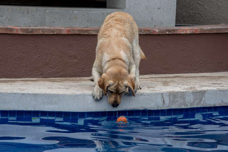 retreiver: Labrador retreiver playing fetch, trying to fish ball out of pool
