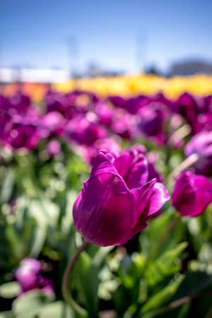 Beautiful fresh purple spring tulip growing outdoors on a farm ready for cutting for floristry, close up selective focus on a single flower symbolic of the season