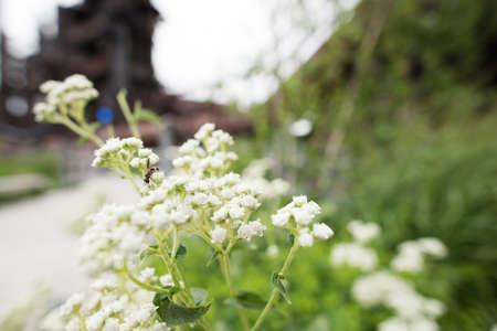 Close up of small budding plant with white flowers and an insect foraging for pollen Stock Photo