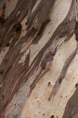 bark peeling from tree: Textured background pattern of peeling bark on a light wood tree trunk in a diagonal orientation