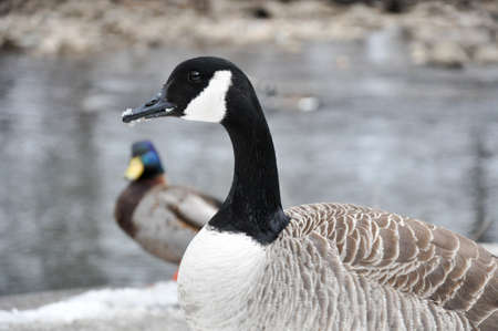 Female Canadian Goose stands in foreground. Male mallard and creek can be seen in the background, snow on the ground