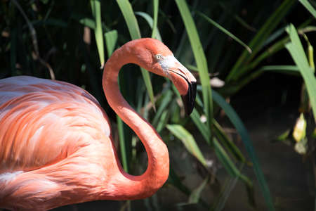 Closeup of flamingo at a zoo, standing on water with plants in background out of focus. Profile view, focused on eye