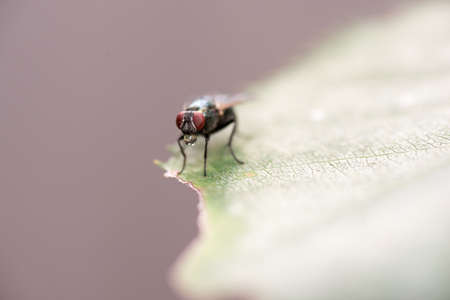 Housefly, Musca domestica, sunning on a green leaf in a close up macro view