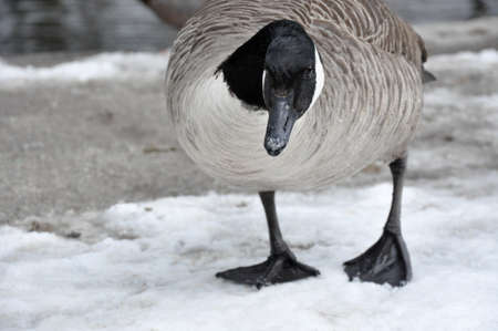 Female Canadian Goose standing on melting snow
