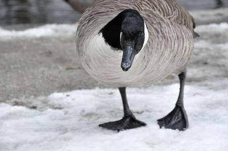 Female Canadian Goose standing on melting snow Reklamní fotografie - 67296612