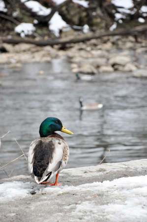 Male Mallard drake searches for food in the melting snow, behind him there is a flowing creek