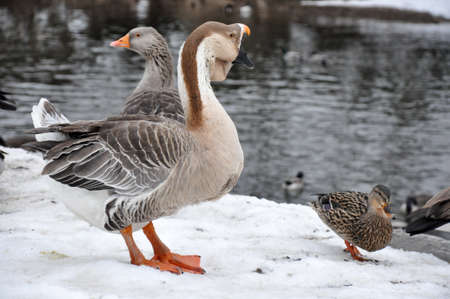 Male swan goose standing on snow. Next to him is a male malllard.