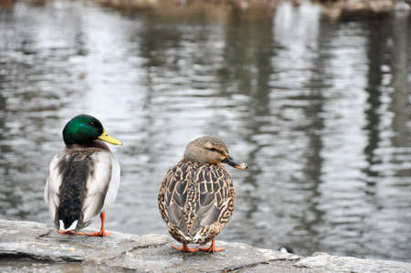 Drake and hen mallard couple overlooking creek in winter. Part of series. Reklamní fotografie