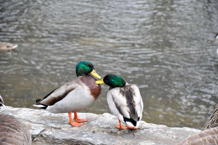 Two drakes (male mallards) grooming each other on a stone wall, overlooking a flowing creek