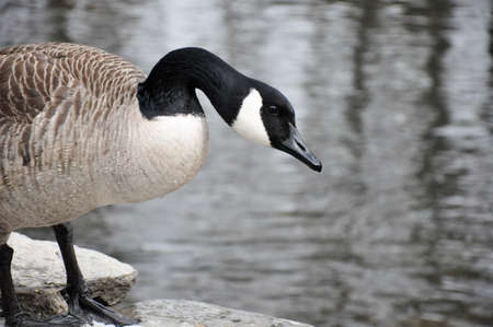 Canadian goose stands in front of creek on a winter day