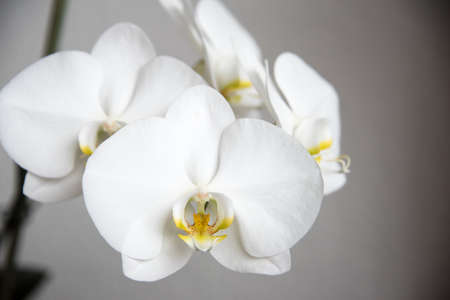 Spring petals of blossoming white orchid in close up view Reklamní fotografie