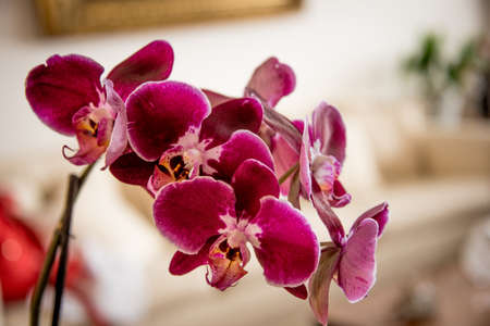 Spike of exotic deep pink or magenta fresh phalaenopsis orchids growing indoors in a living room in a home in a close up view
