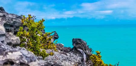 Green leafy bush growing on a rocky outcrop overlooking a calm blue ocean on the Turks and Caicos Islands, Caribbean, America
