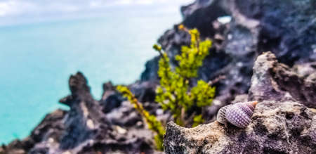 Conch seashell on a rock on a coastal headland overlooking a calm blue sea on the Turks and Caicos islands, Caribbean, America