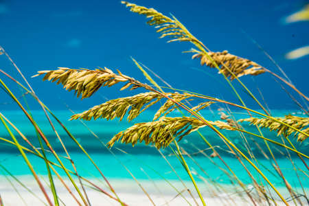 Flowering inflorescences of coastal grasses growing on the sand dunes overlooking an idyllic tropical beach and ocean on the Turks and Caicos Islands, Caribbean