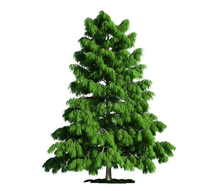 cedar: cedar (latin: cedrus deodara) tree isolated against pure white
