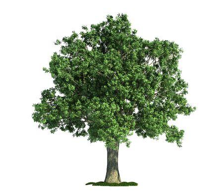 Oak (latin: Quercus) tree isolated against pure white