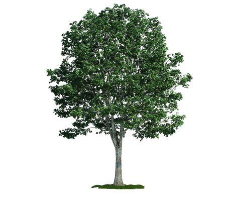 Linden (latin: Tilia) tree isolated against pure white