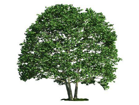 alder: Alder (latin: Alnus) tree isolated against pure white