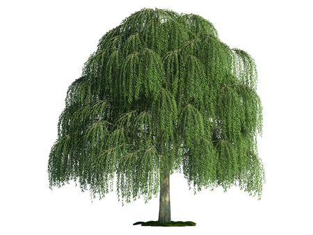 sauce: sauce (latín: Salix) contra árbol aislado de color blanco puro