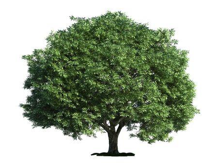salix: crack willow (latin: Salix fragilis) tree isolated against pure white
