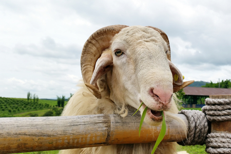 fench: sheep eating grasses in the field near french