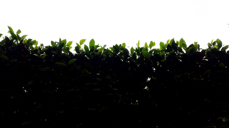 rim: Silhouette hedge with rim light