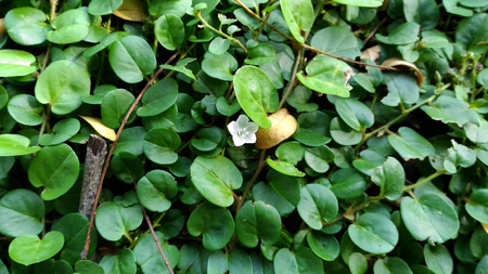groundcover: Evolvulus nummularius - groundcover plant