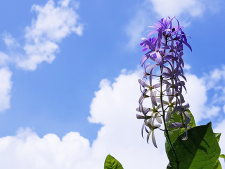 Purple wreath flower and the sunny blue sky   Petrea Volubilis. Linn. (aka Purple Wreath, Queens Wreath, Sandpaper Vine, Bluebird Vine) Stock Photo