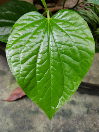 Closed up Piper Lolot leaf - South-East Asia herb Stock Photo