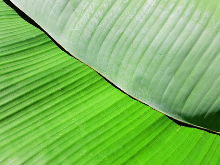 Green banana leaves prepared for food decoration