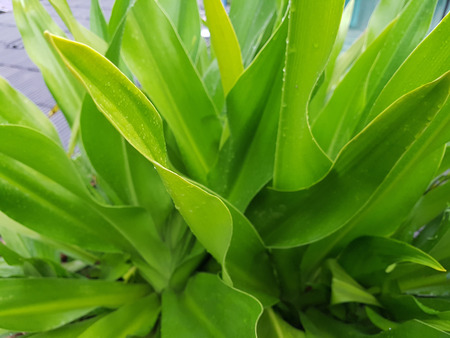 Crinum lily plant after the rain. fresh and green. Stock Photo