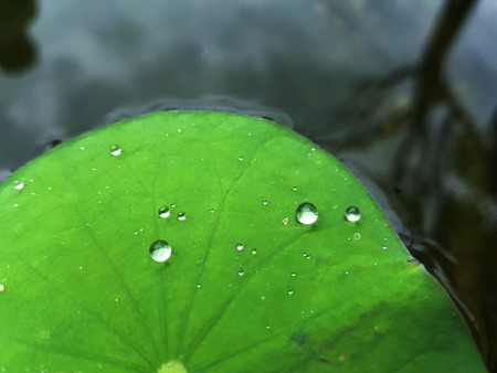 Water drop on Lotus leaf in the lotus pod reflect beside tree and cloudy sky on the surface