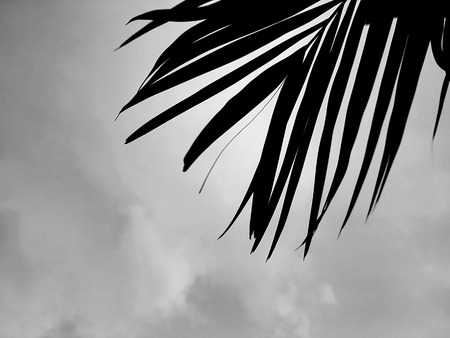 Black & White palm leaves facing into cloudy sky Stock Photo