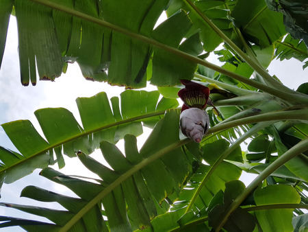 Under the banana tree facing up into sky. Shade of its leaves. with flower pod.