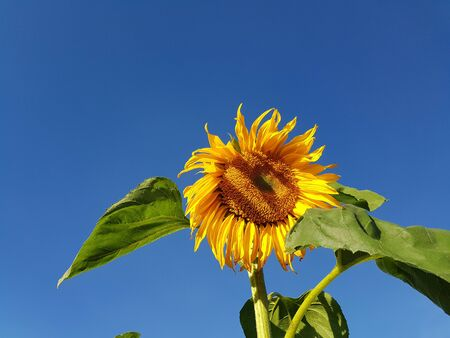 A sunflower standinng lonely under the clear blue sky