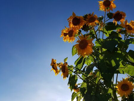 Sunflower bush stand under the clear blue sky