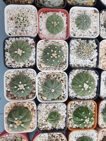 Stack of cactus growing in the round square pot