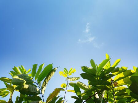 Kantali Champa Leaves under the clear blue sky with copy space