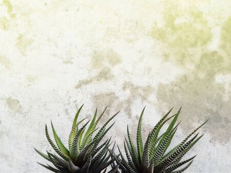 Agave cactus on the grunge cement wall with copyspace Stock Photo