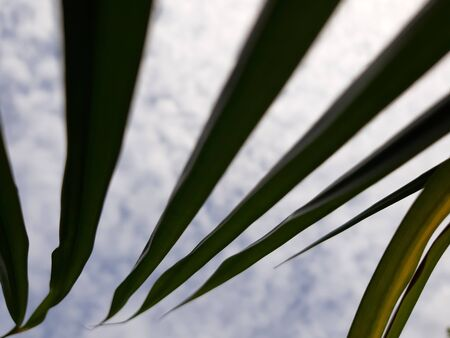 Silhouette coconut leaf facing into the cloudy sky