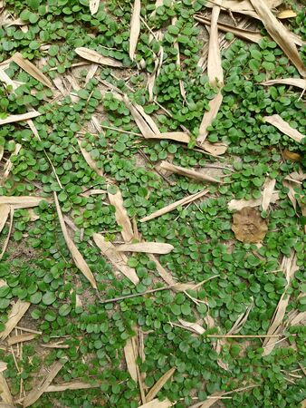Ground cover plant, green grass and dried bamboo leaves Stock Photo