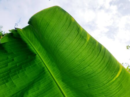 Closed up fresh banana leaf in cloudy day