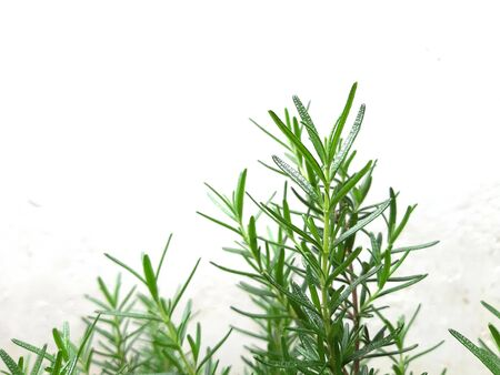 Fresh Rosemary plant in the house garden. Stock Photo